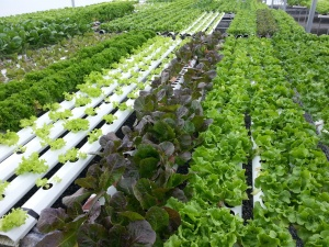 Beautiful hydroponic lettuce