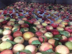 Apples continue through the line taking a dip in a water bath