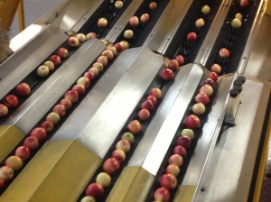 Conveyors take care to handle  the fruit carefully
