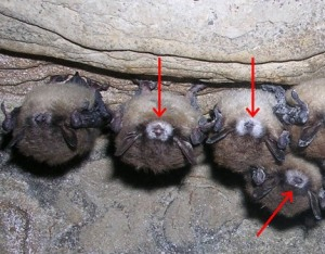white_nose_syndrome
