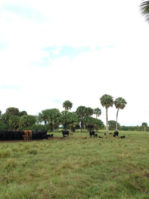 cracker cattle